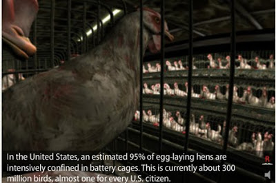 Mass Produced Chickens