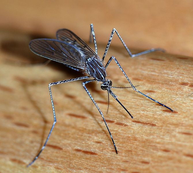 Mutant Mosquitoes Planned For Release In Florida The