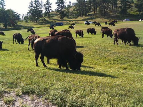 buffalo chili