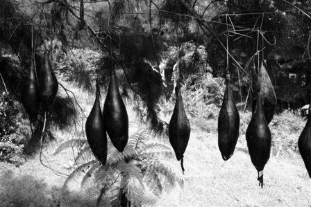 hanging shark livers