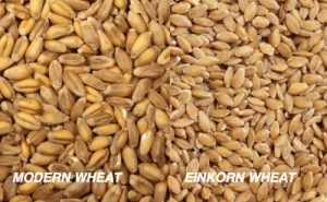 modern wheat kernels and einkorn berries