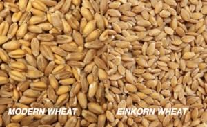 modern wheat vs einkorn