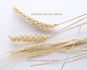 einkorn vs durum wheat