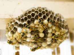 wasp nest as natural pesticide