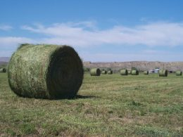 One Grass-Fed Dairy Farmer's Answer to GE Alfalfa