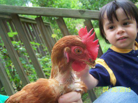 free range hens1