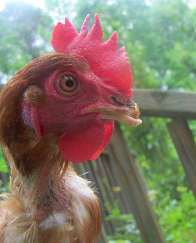 free range hens2