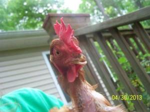 free range hens5