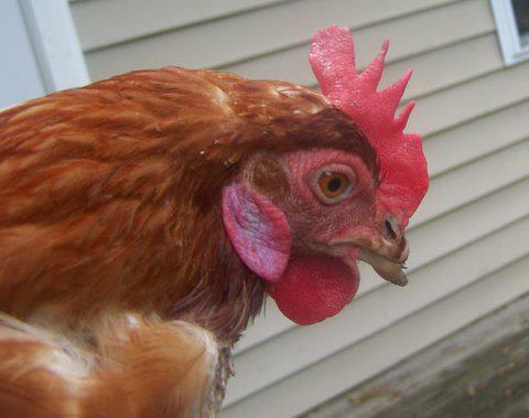 free range hens6