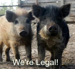pigs_mini