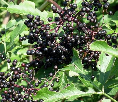 ripe elderberries on a bush