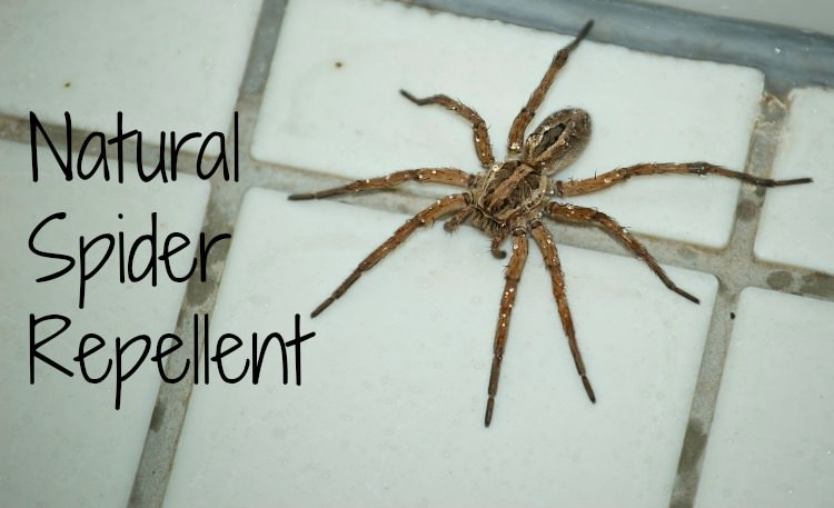 Natural spider repellent guaranteed to work the Natural spider repellent