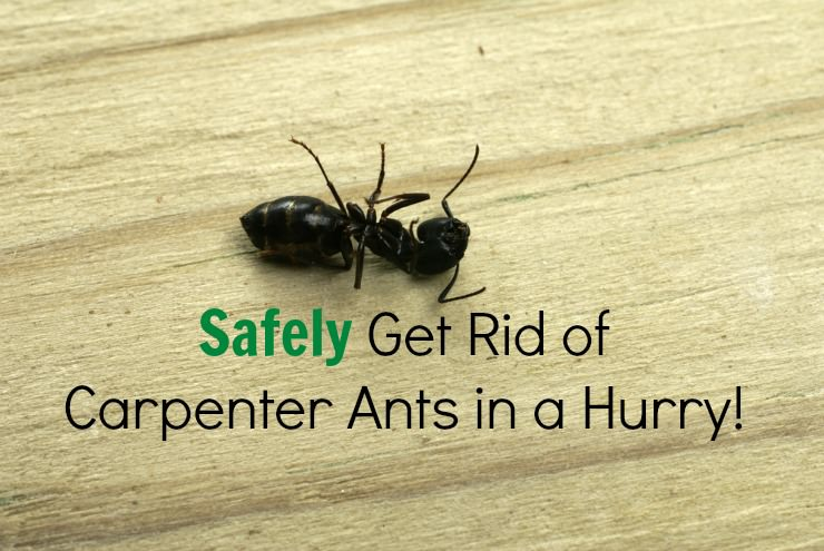 Safe Solution For Carpenter Ants