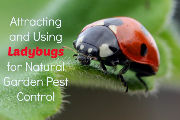 Using Ladybugs For Garden Pest Control | The Healthy Home Economist