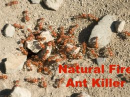 Natural Fire Ant Killer That Works FAST 1