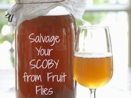 How to Save Your SCOBY from a Fruit Fly Infestation