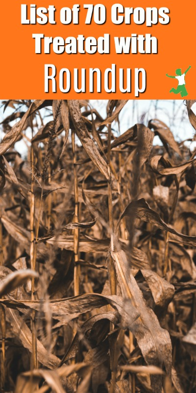 desiccated corn plants in a field