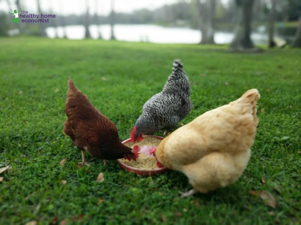 Keeping Backyard Chickens Top 6 Tips For Making It Easy The