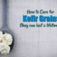 caring for kefir grains