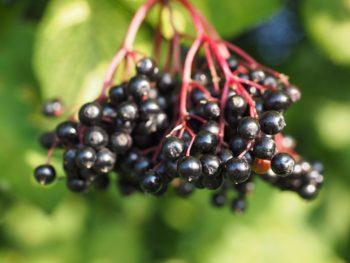 elderberry for coronavirus