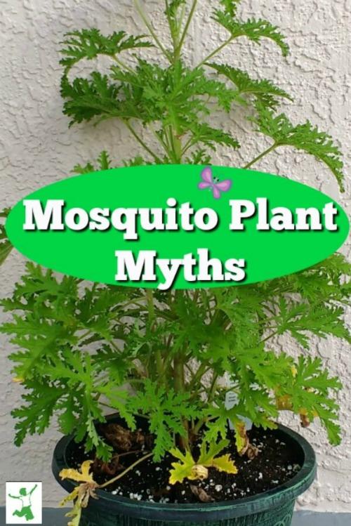 mosquito plant myth