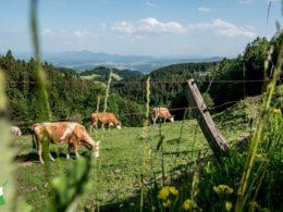 cows grazing on a grassy hillside