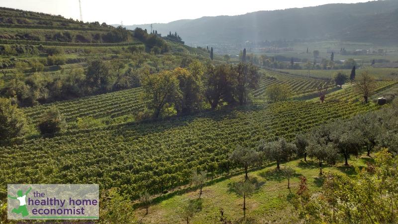 ancient Italian olive grove