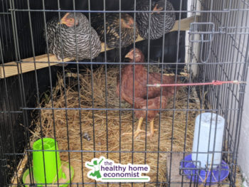 DIY chicken coop with 4 roosting hens