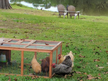hens in a coop and chickens free ranging